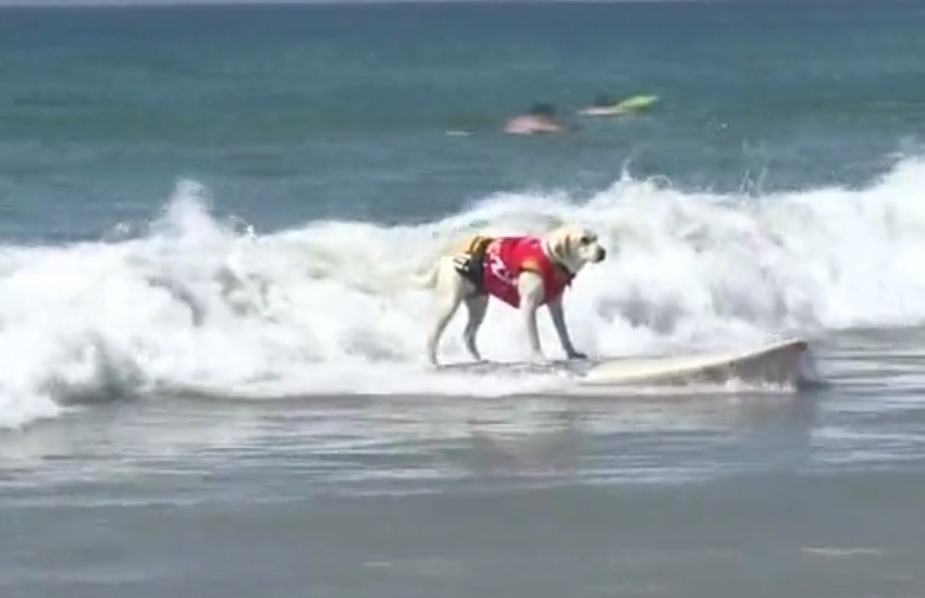 """Surf City Surf Dog"" la competizione di cani surfer che spopola in California - VIDEO"