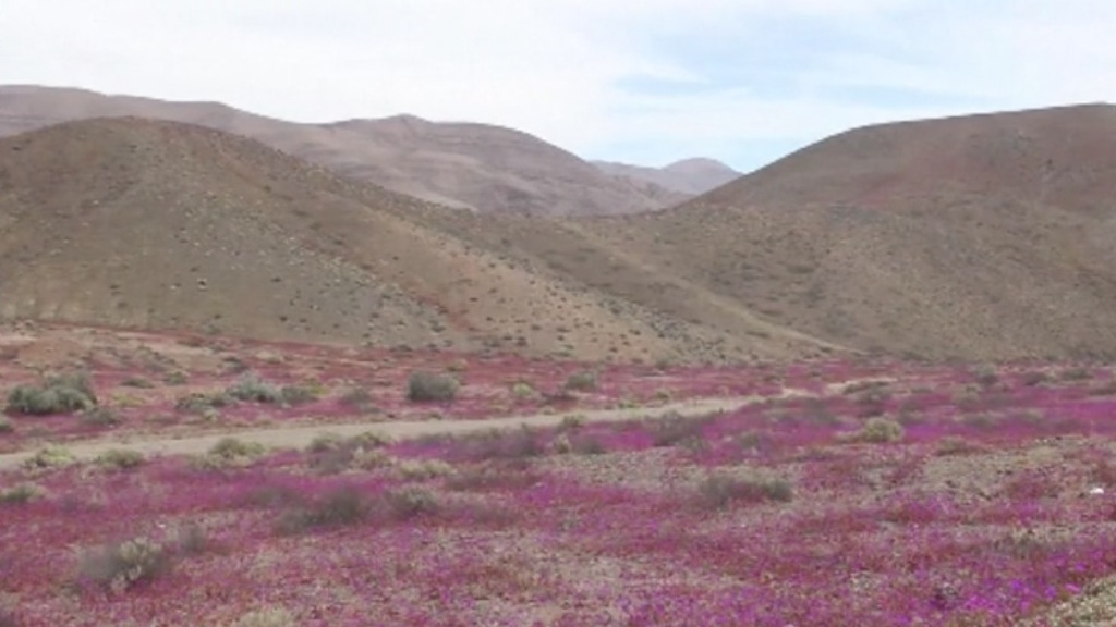 Deserto di Atacama, incredibile e spettacolare fioritura - VIDEO