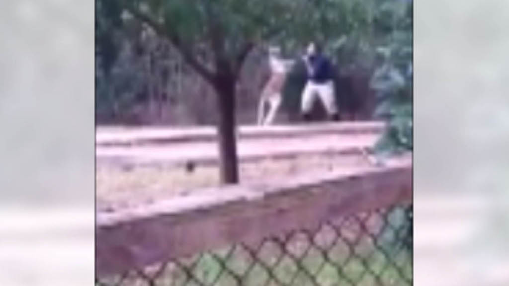 Un incontro di boxe con un canguro - VIDEO