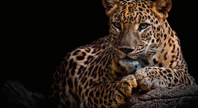 La modella Jessica Leidolph sbranata da un leopardo sul set fotografico. È in gravi condizioni